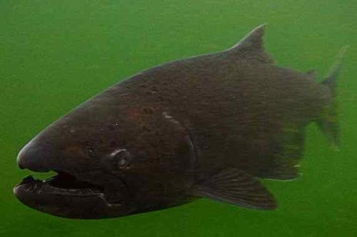 Report States Parasite Blinded Salmon; Virus Found in Brains