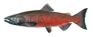 Eel River ecology and significant species: Chinook Salmon Male