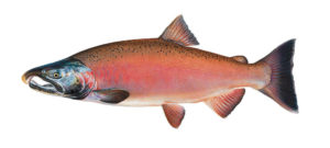 Eel River ecology and significant species: Coho Salmon Male