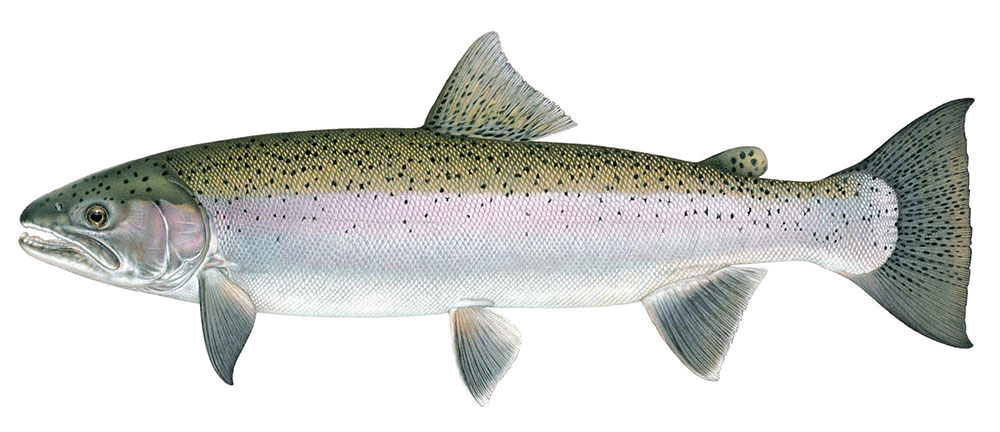 Eel river ecology and significant species for Steelhead fishing california