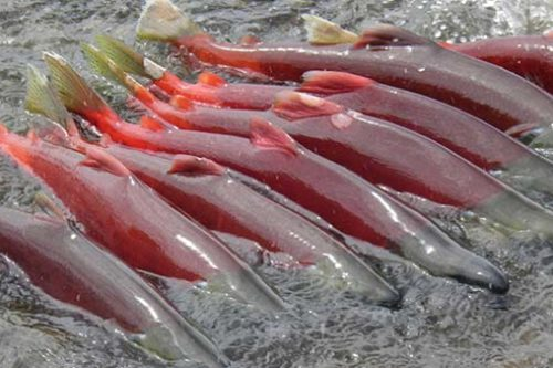 What's Cuing Salmon Migration Patterns?
