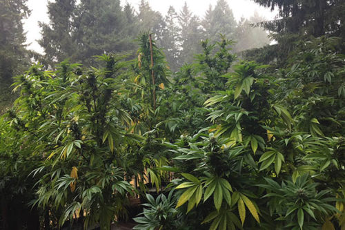 Cannabis growing in Humboldt County