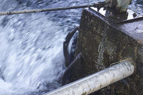 Pacific lamprey attempting fish ladder on Eel River