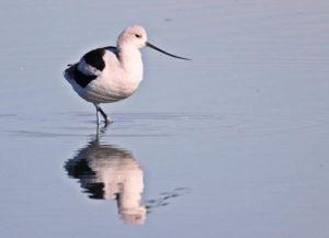 American Avocet, the species with the biggest decline in eBird | Ken Burton