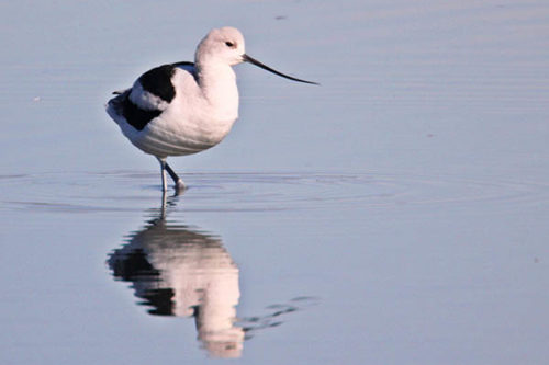 American Avocet, the species with the biggest decline in eBird | Ken Burton