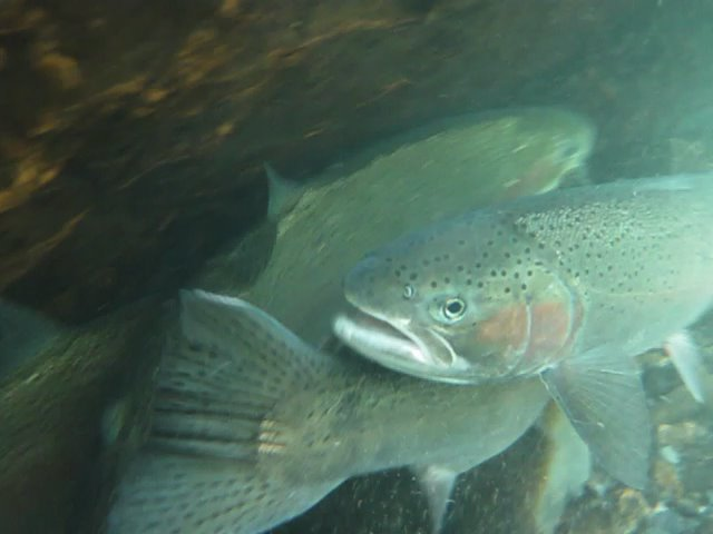 EcoNews Report on summer steelhead and spring chinook salmon
